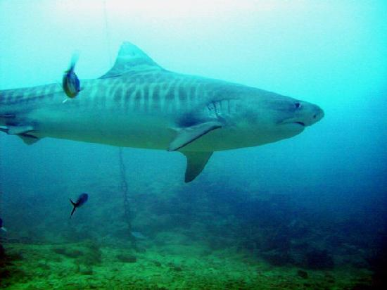 where�s the world�s greatest shark dive madurodive blog