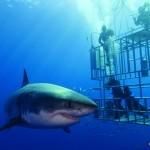 Nautilus-Explorer-Guadalupe_GreatWhiteCage_2