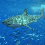 White_shark_1