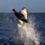shark-seal-lure_1890783i